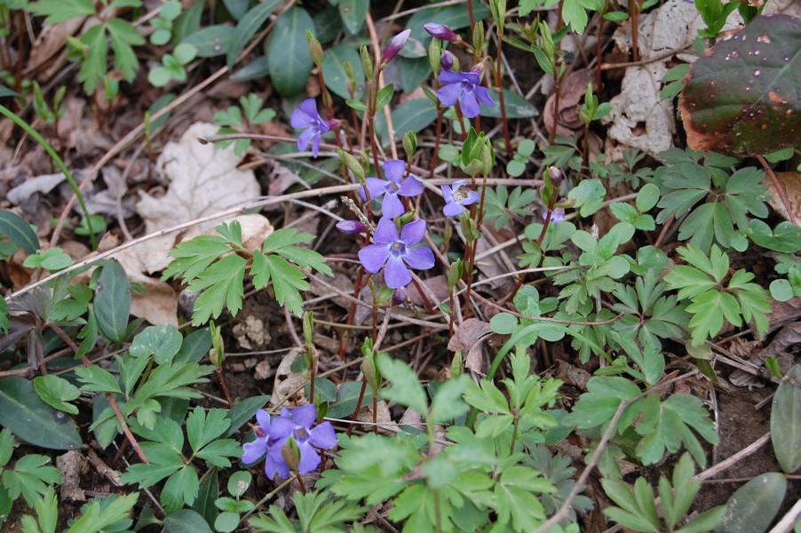 Flora del parco della valletta for Pervinca pianta