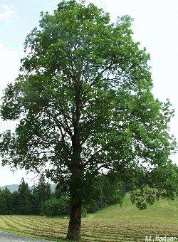 Sogna la felicit il benessere a casa tua frassino - Foto di alberi da giardino ...